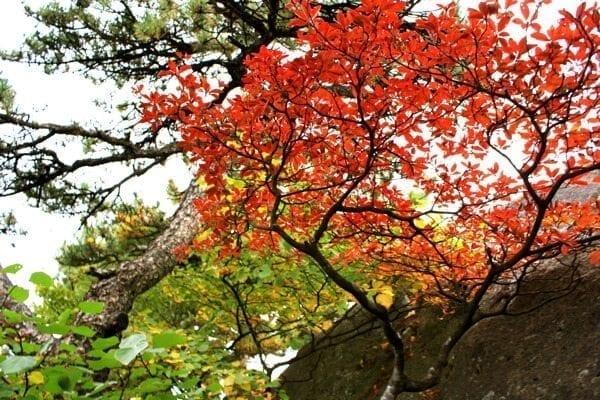 huangshan-red-tree