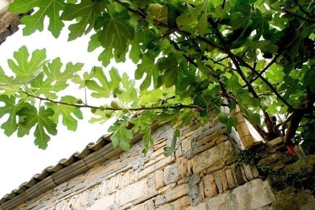 china-fig-tree - ON LOCATION IN HONGCUN, by thewoksoflife.com