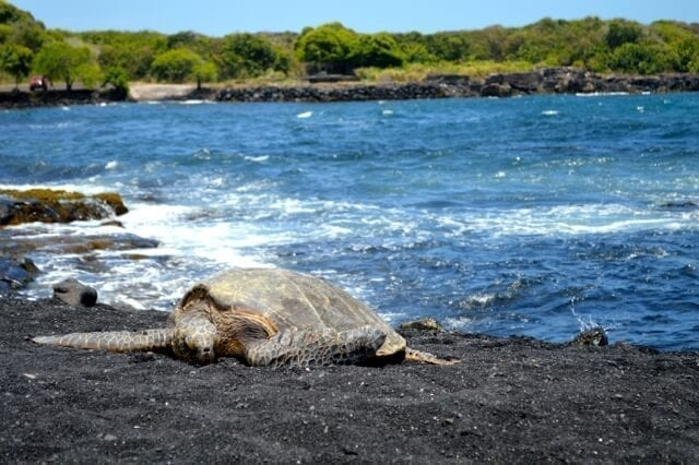 16 Reasons Why Hawaii is Pretttttty Much The Bomb - sea turtles, by thewoksoflife.com