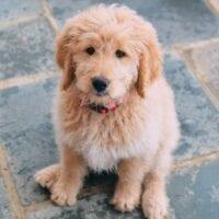 Picking a Puppy