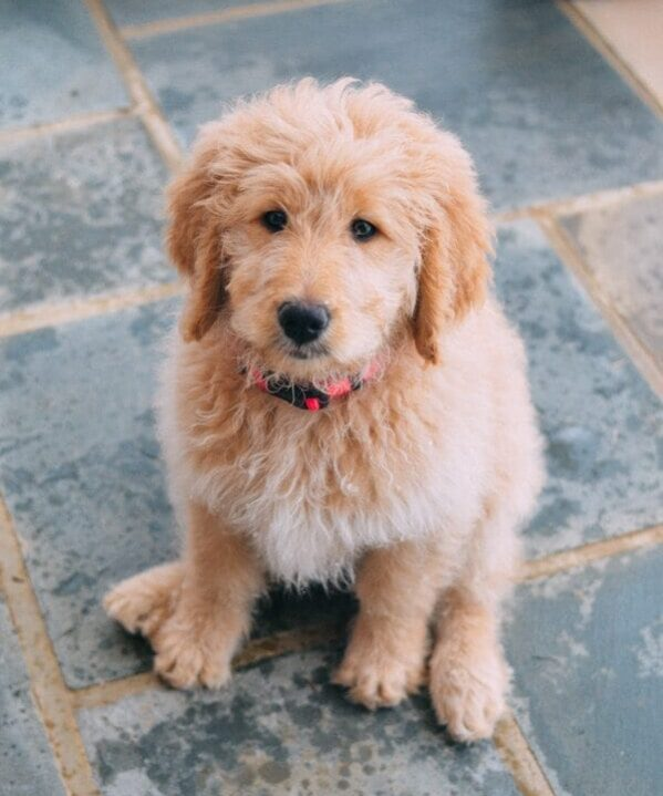 8 week old goldendoodle puppy