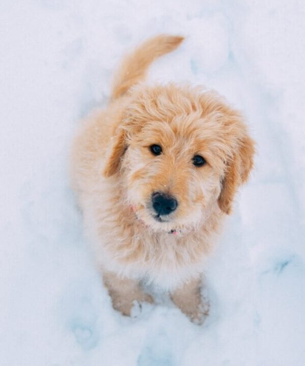 Goldendoodle puppy in the snow