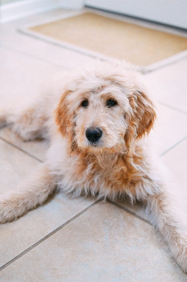 Barley's First Weeks and Puppy Training Treats - goldendoodle puppy by thewoksoflife.com