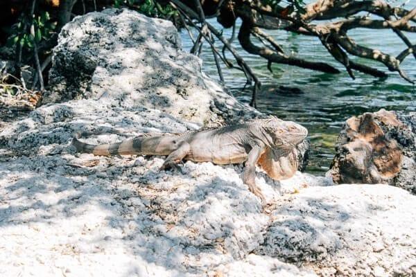 KW-lizard