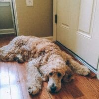 Barley, Our Goldendoodle Growing Up