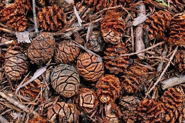 Sequoia Pinecones