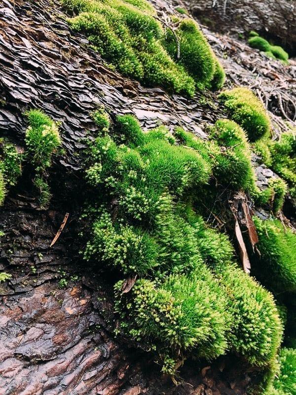 Sequoia Moss