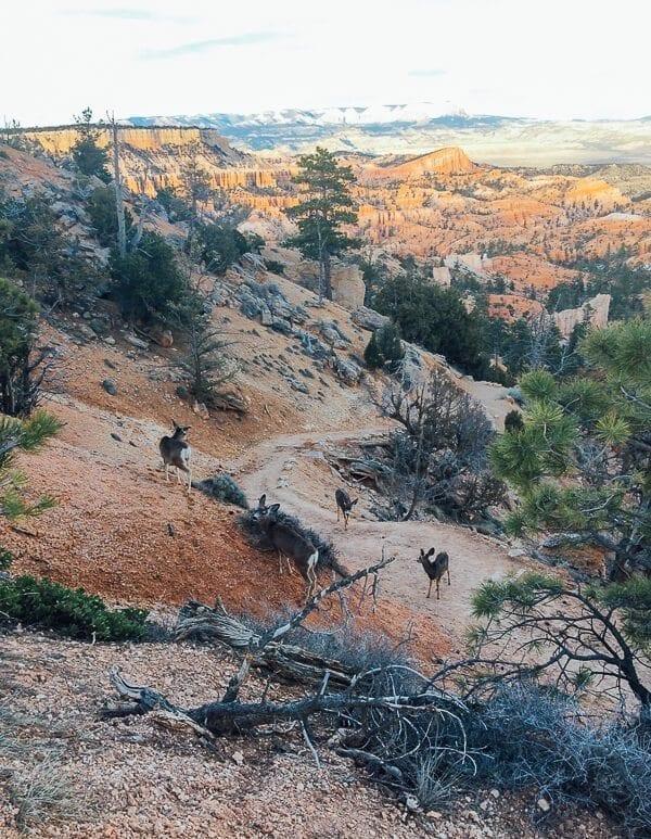 Bryce Canyon Mule Deer