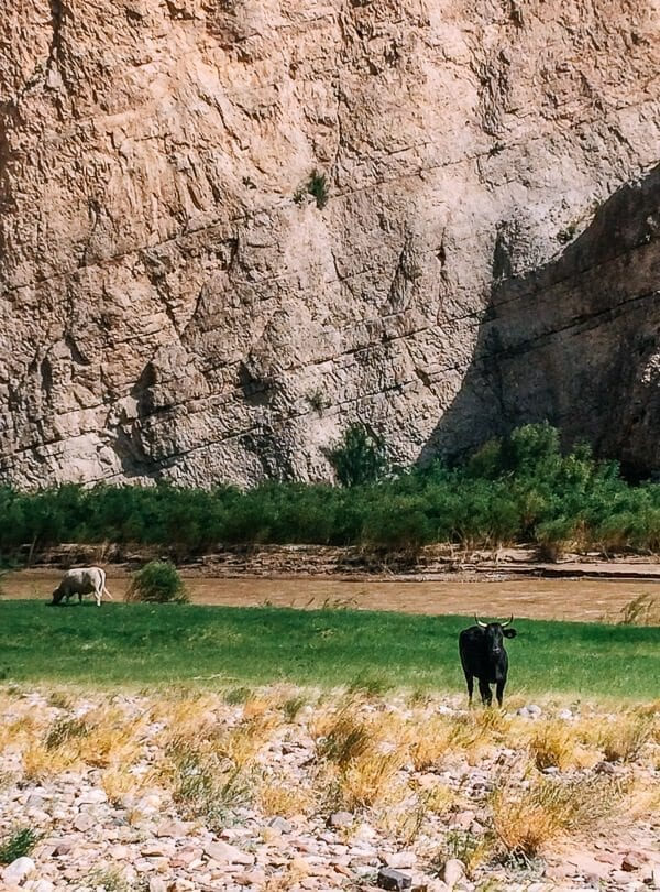 Boquillas Canyon Cows, Big Bend National Park - thewoksoflife.com