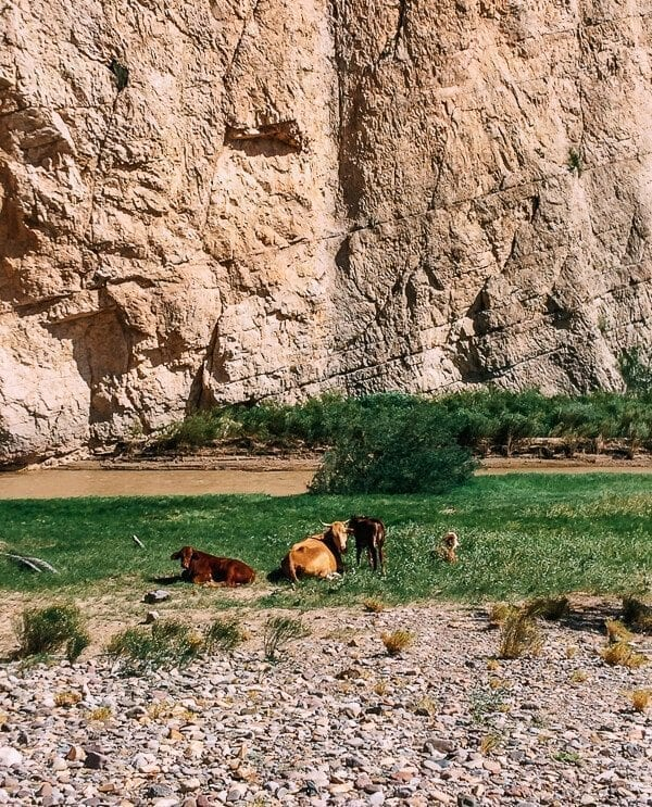 Boquillas Canyon Cows, Big Bend National Park - thewoksoflife.com