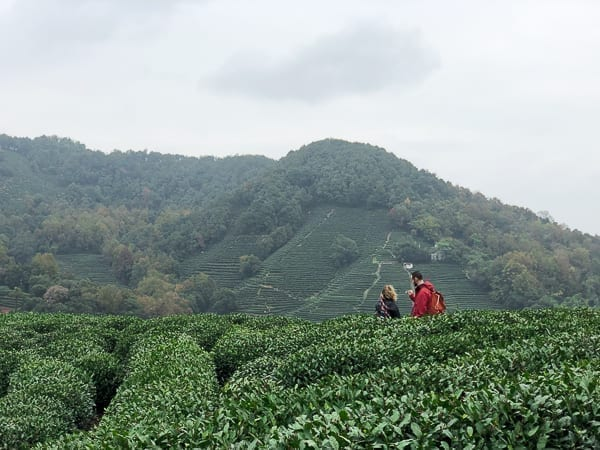 Longjing Terraced Tea Farming