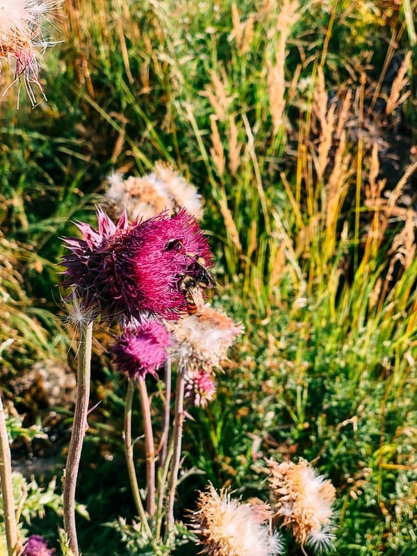 Bee in Flower, Grand Teton