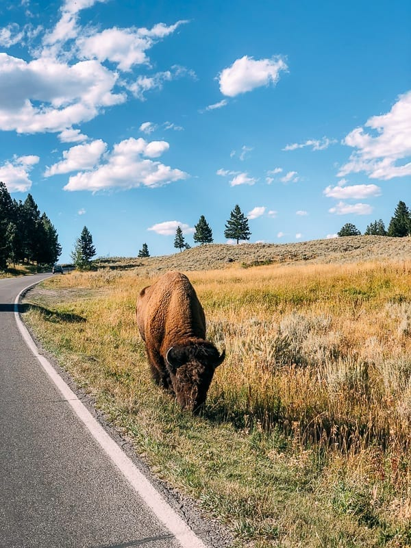 Buffalo on the side of the road, Yellowstone, thewoksoflife.com