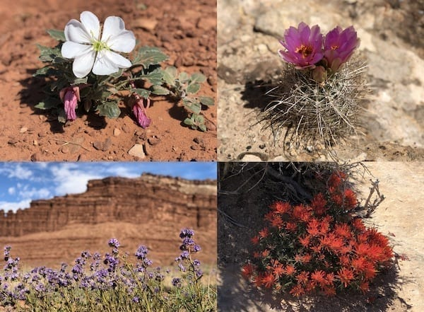 Canyonlands White Rim trail Spring wildflowers by thewoksoflife.com
