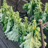 Drying and Preserving Kale Greens, thewoksoflife.com