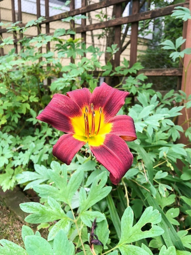 Lily flower, thewoksoflife.com