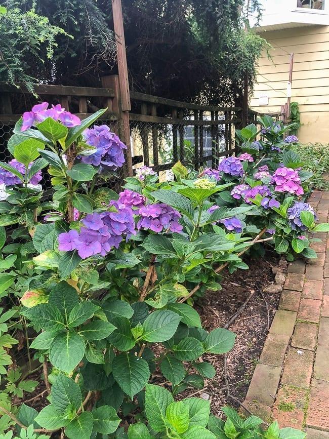 Hydrangea plants, thewoksoflife.com