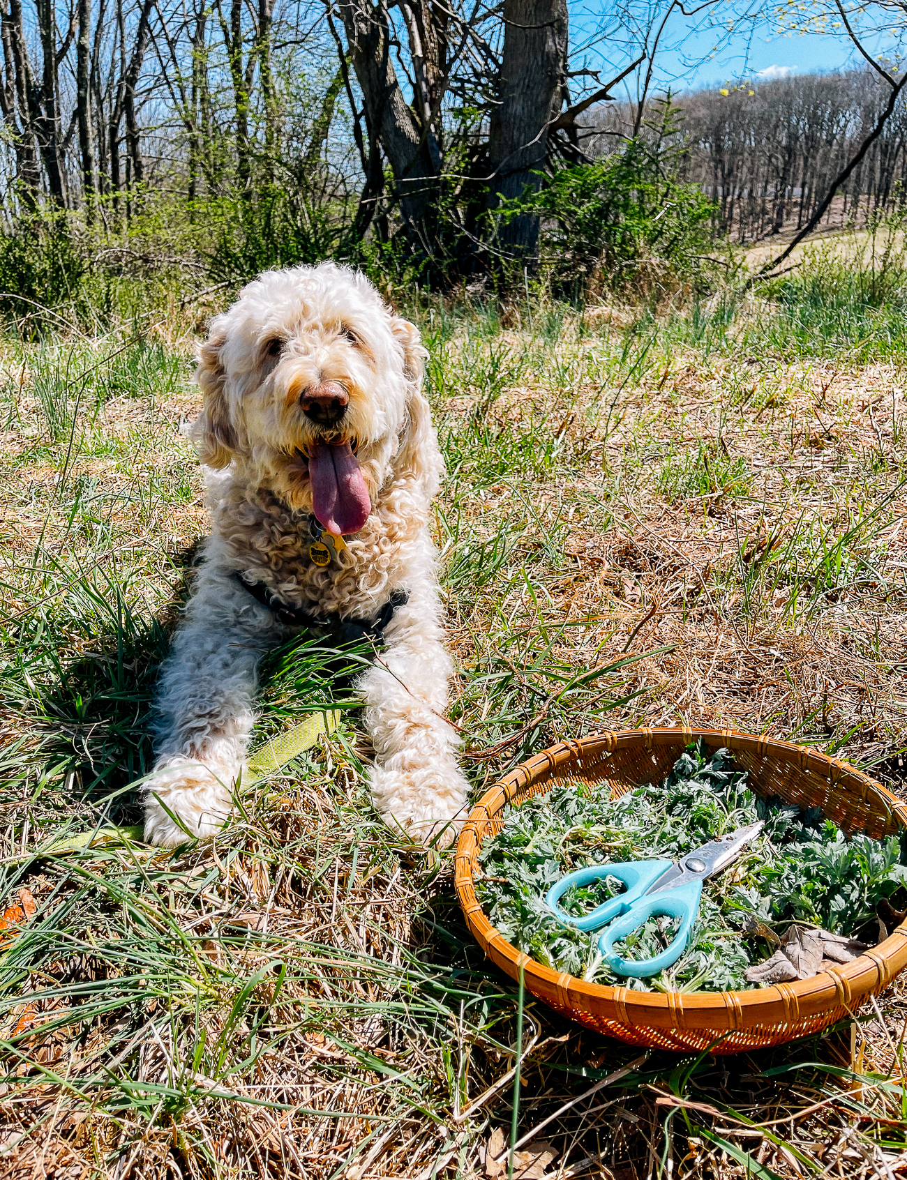 Foraging for mugwort with Barley the Goldendoodle